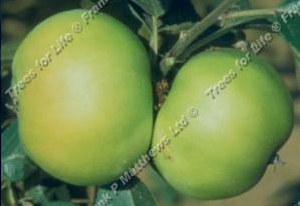 bountiful_apple_tree