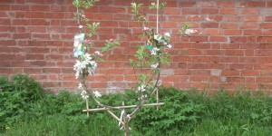 'U' trained Family Apple Trees