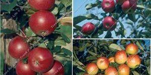 Family Apple Trees