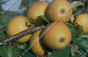 Herefordshire Russet