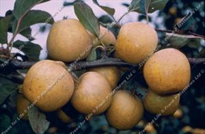 Pitmaston Pine Apple