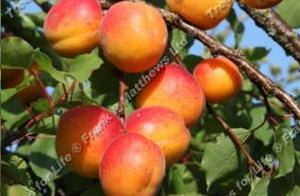 Apricot – Goldcot ®