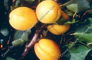 Apricot – Golden Glow