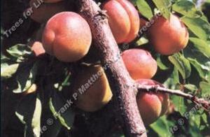 Apricot – Tomcot ®