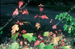 Acer rubrum 'Summer Red'