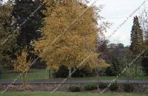 Betula – Betula alba Pendula
