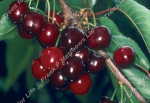 Cherry – Early Rivers