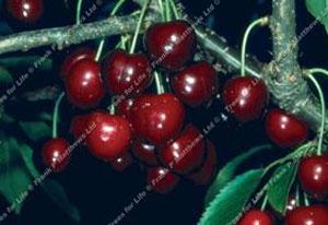 Cherry – Lapins `Cherokee`