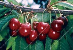 Cherry – Stella