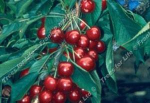 Cherry – Summer Sun