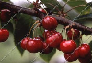 Cherry – Sweetheart ®