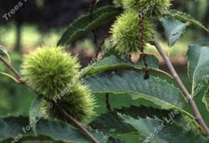 Chestnut – Maraval (12l)