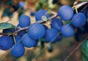 Damson – Shropshire Prune