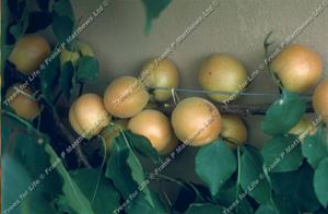 Apricot – Early Moorpark