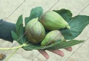Fig – Brown Turkey