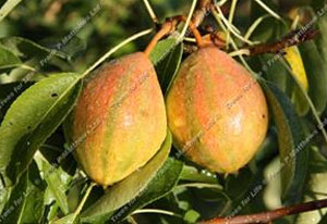 Pear – Humbug ®