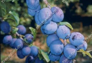 Damson – King of the Damsons