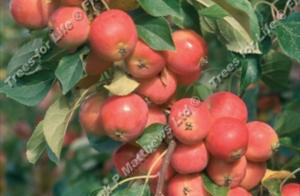 Malus – Malus Jelly King ®