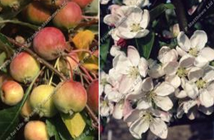 Malus – Malus Evereste ®