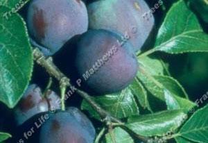 Plum – Marjorie's Seedling