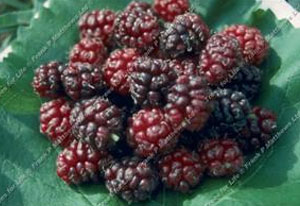 Mulberry – Chelsea (King James I)
