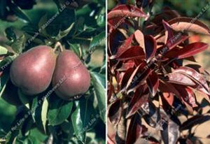 Pear – Sensation