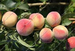 Peach – Peregrine
