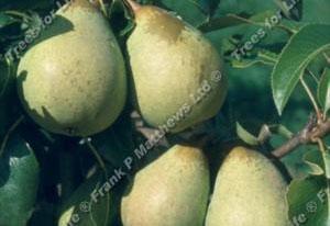 Pear – Beth