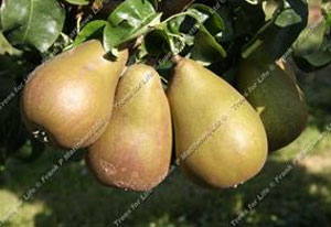 Pear – Beurre Hardy