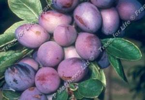 Plum – Purple Pershore