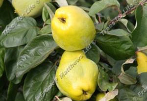 Quince – Portugal