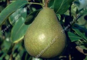 Pear – Williams' Bon Chretien