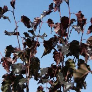 Betula pendula Royal Frost ®