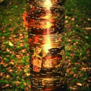 Betula uti Wakehurst Place Chocolate Betula utilis 'Wakehurst Place Chocolate'