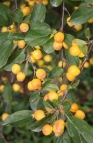 Malus Golden Gem