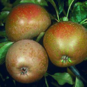 Apple Ashmead's Kernel